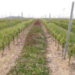 contes-vignes-beaujolais-